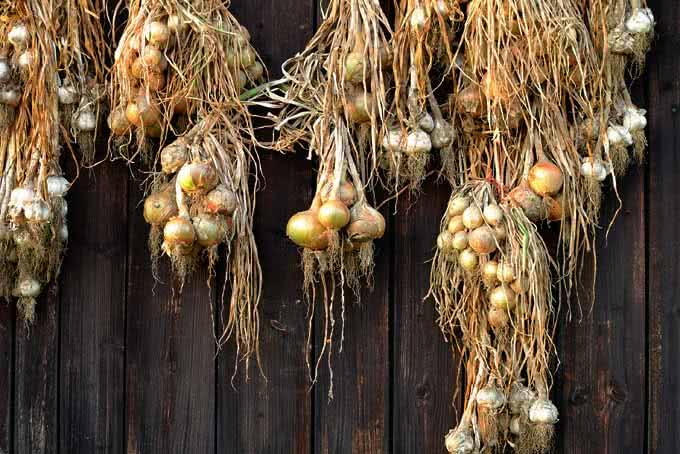 Сушка лука после уборки урожая: как правильно сушить?