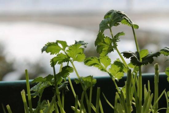 Выращивание кинзы в теплице   огородник