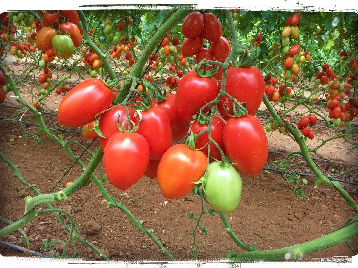 Томат «столыпин»: описание и характеристика, выращивание, фото