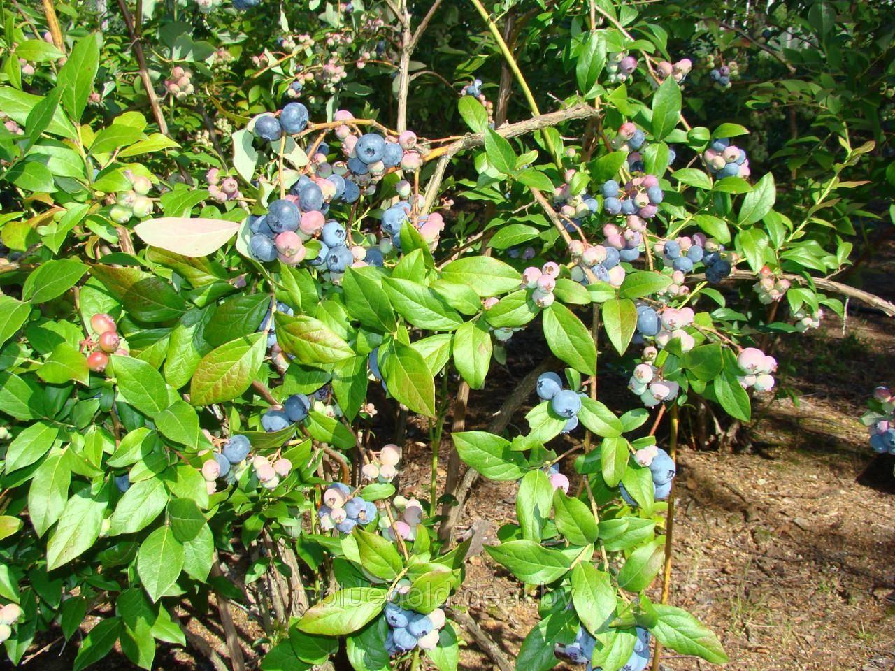 Голубика элизабет: преимущества сорта и рекомендации по его выращиванию