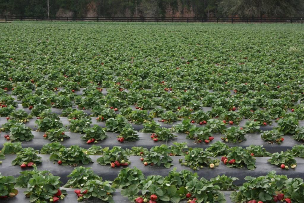 Какую клубнику можно выращивать на подоконнике круглый год
