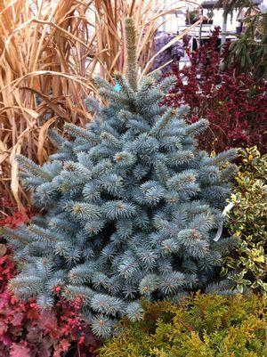 Дерево пихта: посадка и уход в открытом грунте, виды и сорта с фото