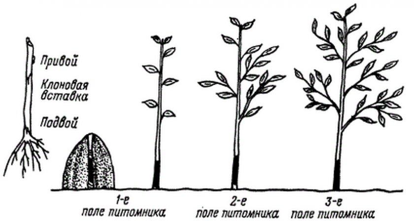 Размножение груши в домашних условиях: инструкция для начинающих