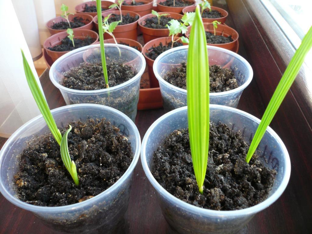 Выращивание финиковой пальмы из косточки: посадка и уход в домашних условиях