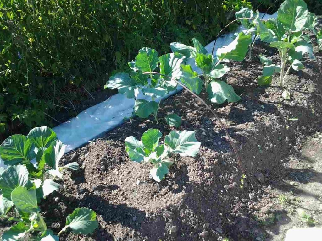 ✅ почему вытягивается рассада капусты, что делать, профилактические методы - tehnomir32.ru