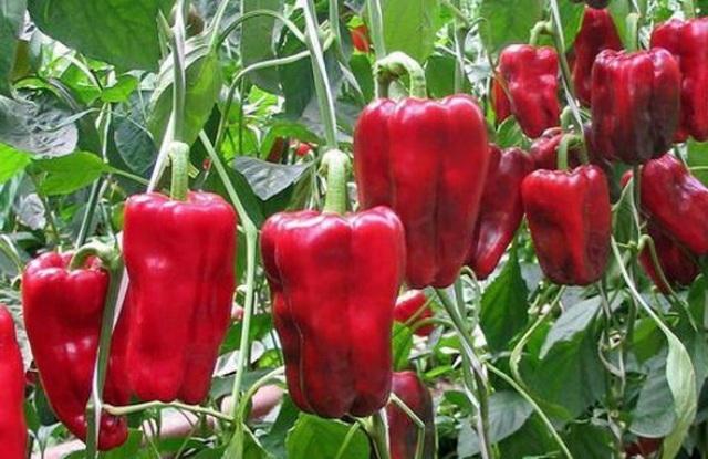 Перец антей: характеристика и описание сорта, отзывы, урожайность