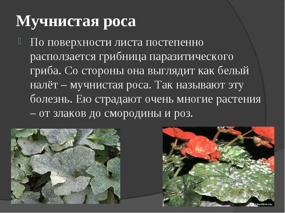 Мучнистая роса на розах: чем лечить летом, меры борьбы в домашних условиях, народные средства