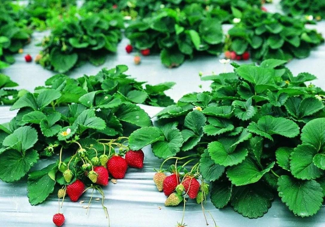 Клубника гирлянда: описание сорта, фото, отзывы садоводов