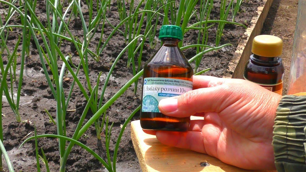 Как избавиться от луковой мухи, если она уже появилась: народные средства