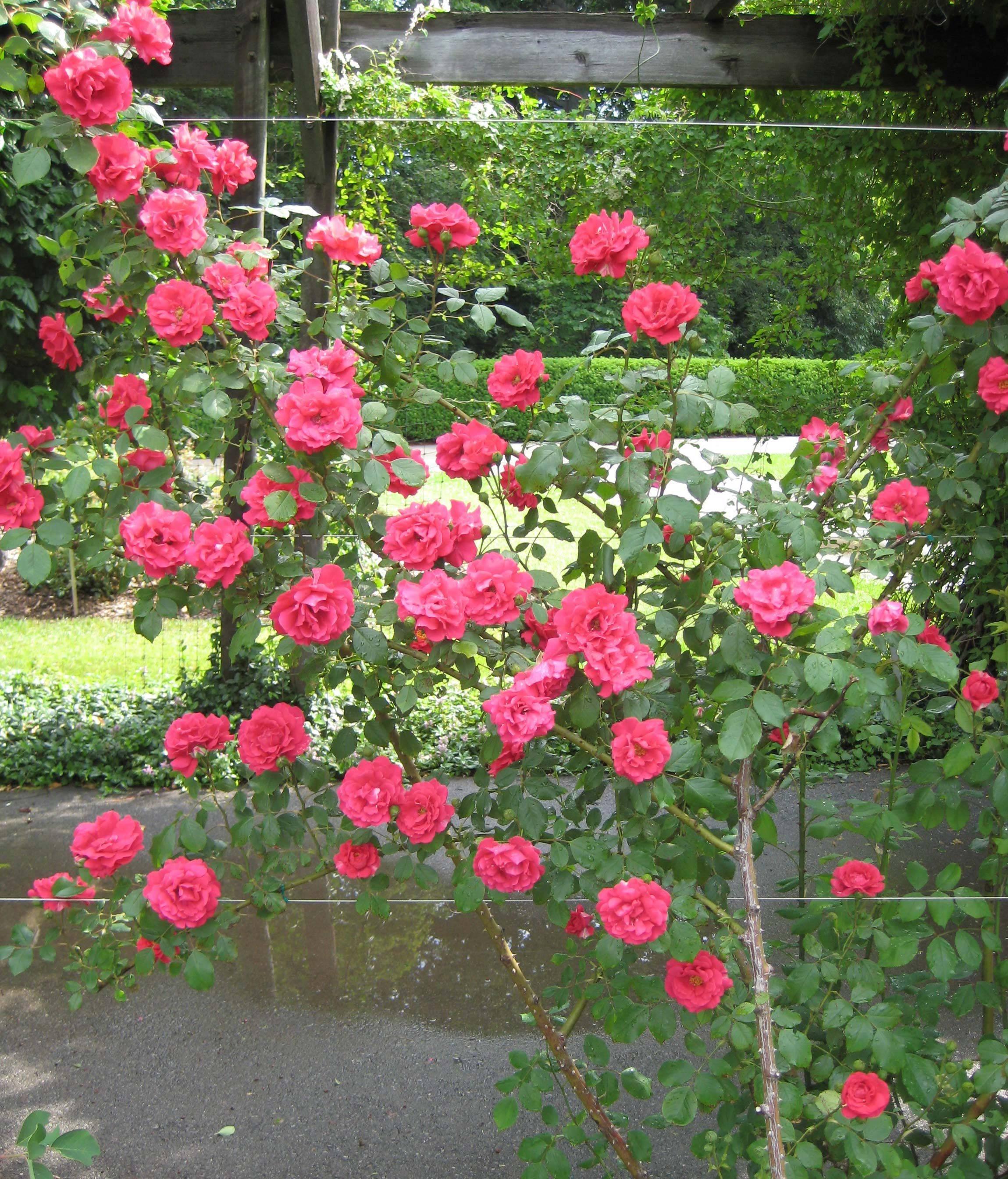 Роза плетистая: выращивание и уход в открытом грунте.