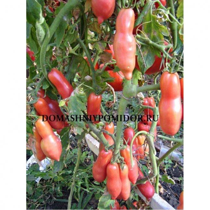 """Томат """"сливка розовая"""": описание сорта помидора с фото русский фермер"""