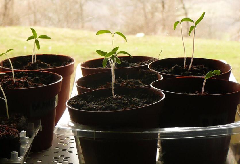Рассада томатов: выращивание без пикировки