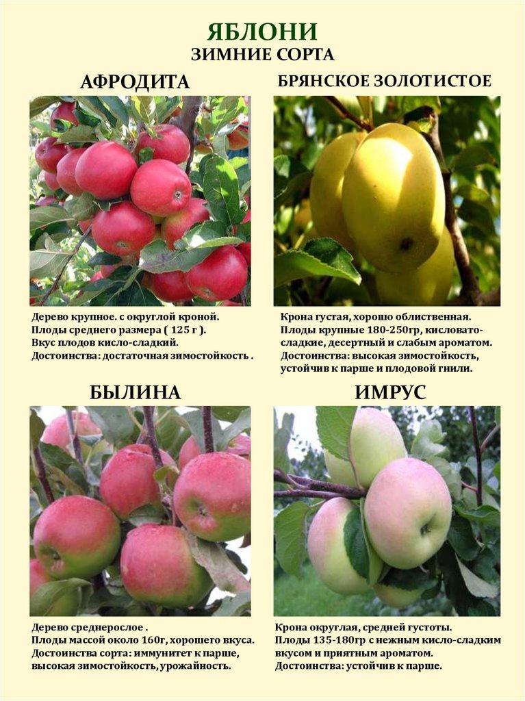 Яблоня «имрус»: описание, фото, отзывы