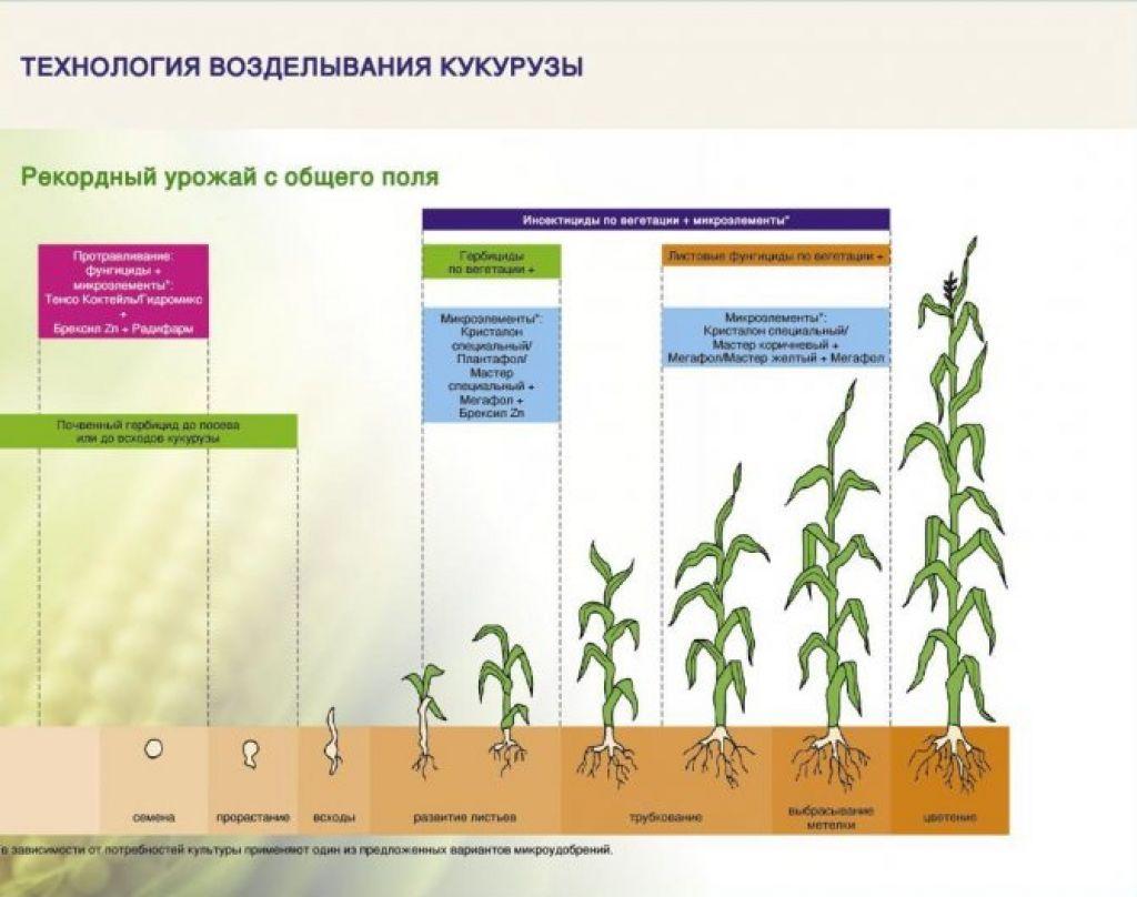 Кукуруза: как и когда сажать кукурузу в открытый грунт, посадка и уход, выращивание