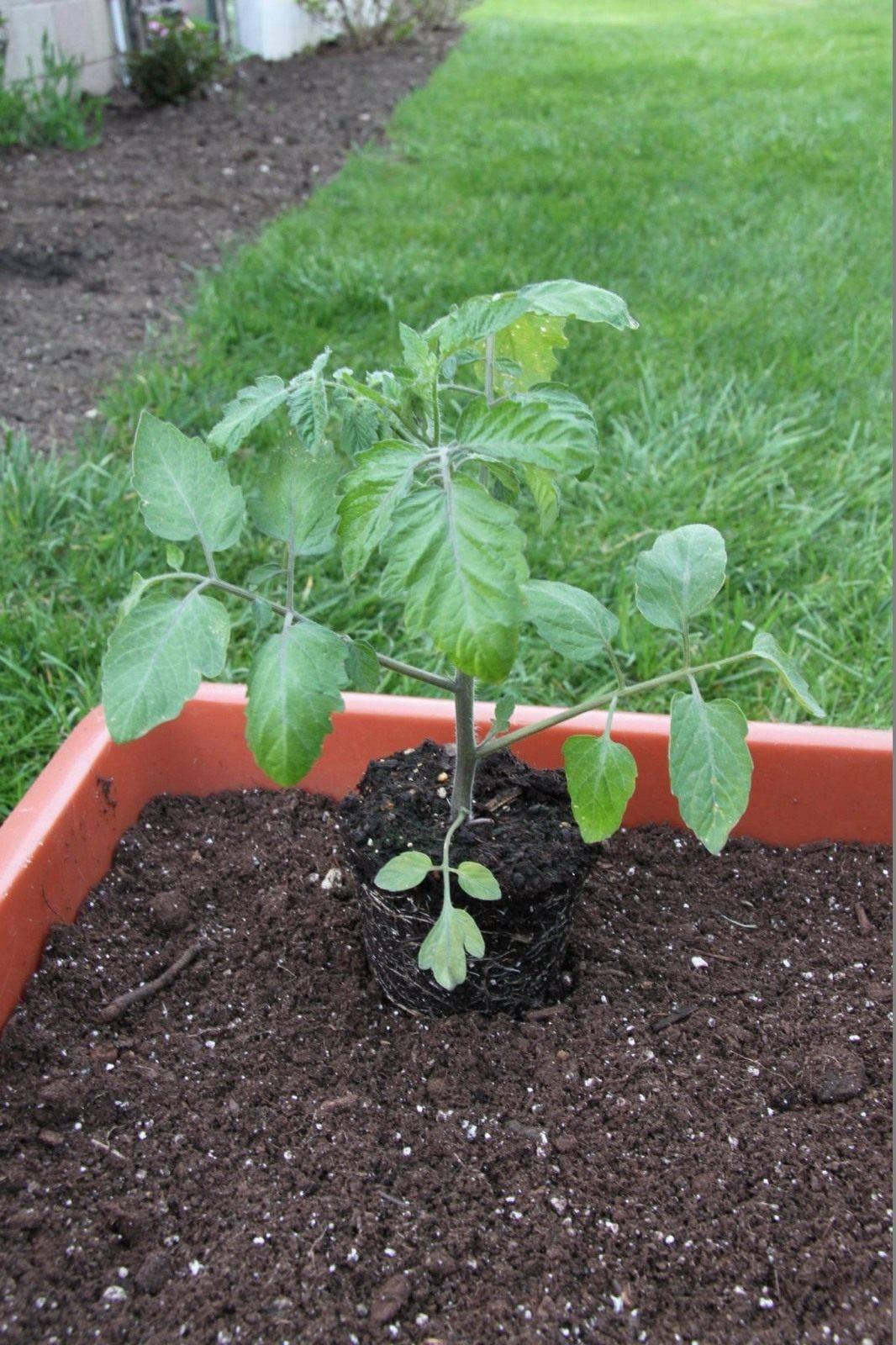 Помидоры черри: выращивание из семян, посадка и уход в открытом грунте