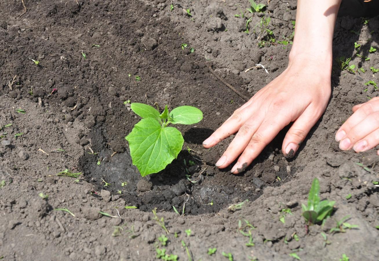 Щавель: выращивание и уход