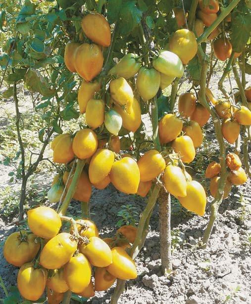 """Сорт помидор """"колхозный"""": описание плодов и особенностей выращивания с фото"""