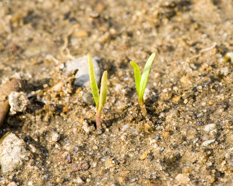 Как посадить морковь, чтобы быстро взошла: что надо сделать для этого, как правильно посеять, нужно ли предварительно обрабатывать семена