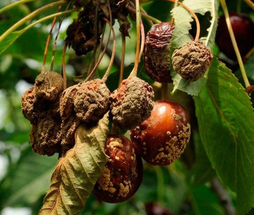 Монилиоз вишни: лечение, препараты для обработки и сорта устойчивые к заболеванию