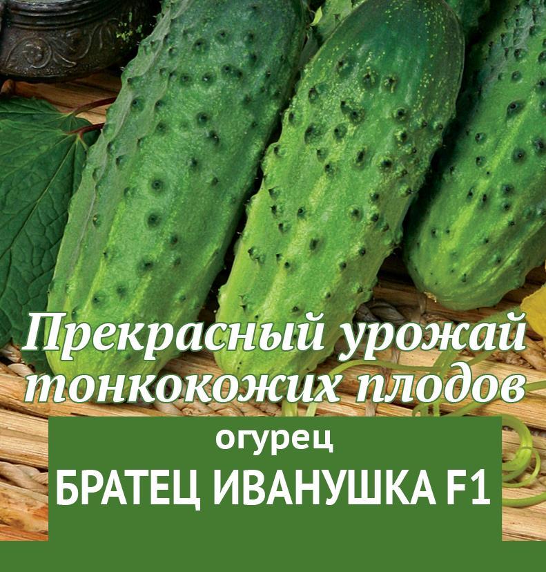 Огурец братец иванушка f1 — описание и характеристика сорта   zdavnews.ru