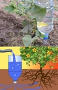 Прикорневой капельный полив из пластиковых бутылок своими руками