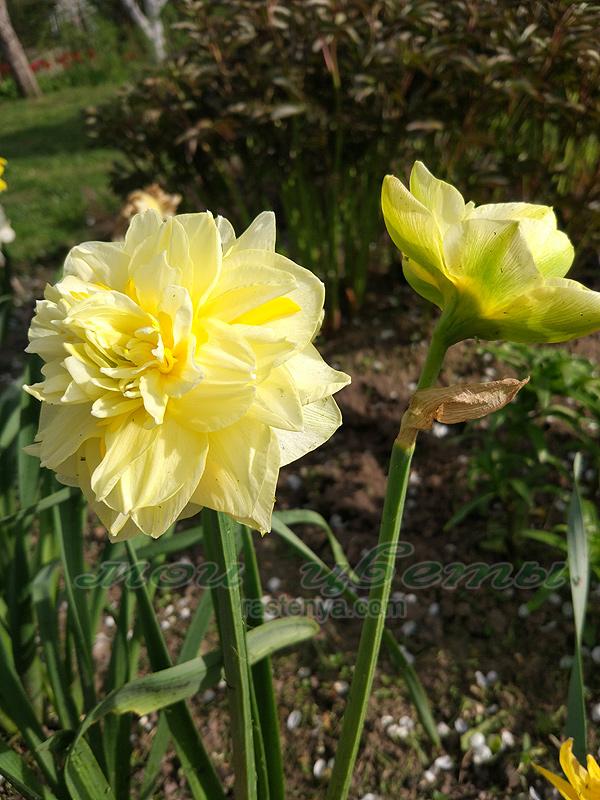 Нарцисс свит помпонет: описание и характеристики сорта, посадка и уход, отзывы с фото