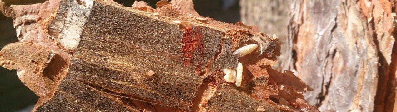 Как избавиться от короеда в деревянном доме своими руками: методы, видео