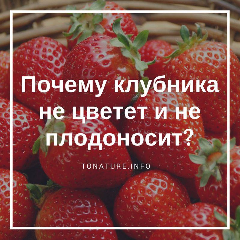 Почему на клубнике появляется пустоцвет и что делать, чтобы завязывались плоды?