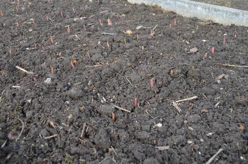 Как правильно провести подкормку озимого чеснока весной