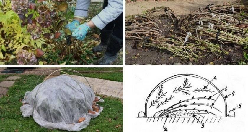 Подготовка хосты к зиме: уход осенью, обрезка, чем удобрять, подкормка молодых кустов