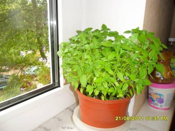 Выращивание мяты на подоконнике дома: посадка, уход, сбор урожая