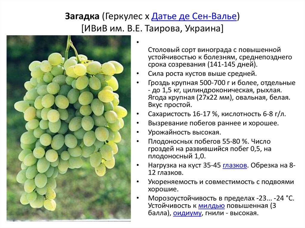 Шардоне — сорт винограда для игристого вина