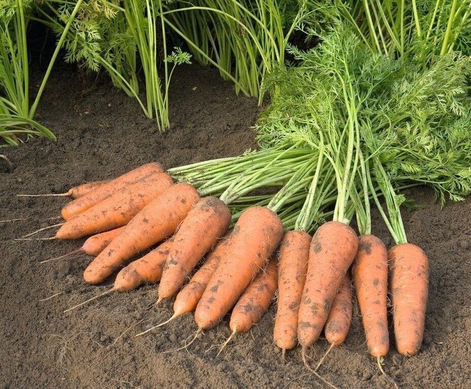 Уборка и хранение моркови. когда убирать морковь с грядки на хранение, сроки уборки?