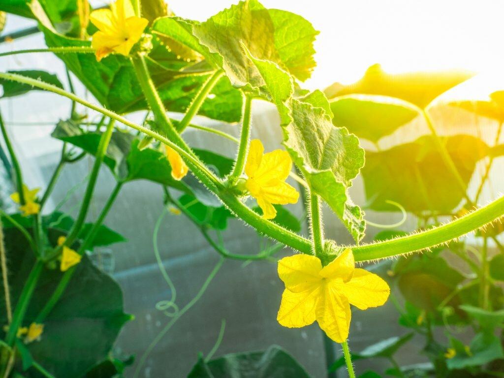 Почему у кабачков пустоцветы, что делать