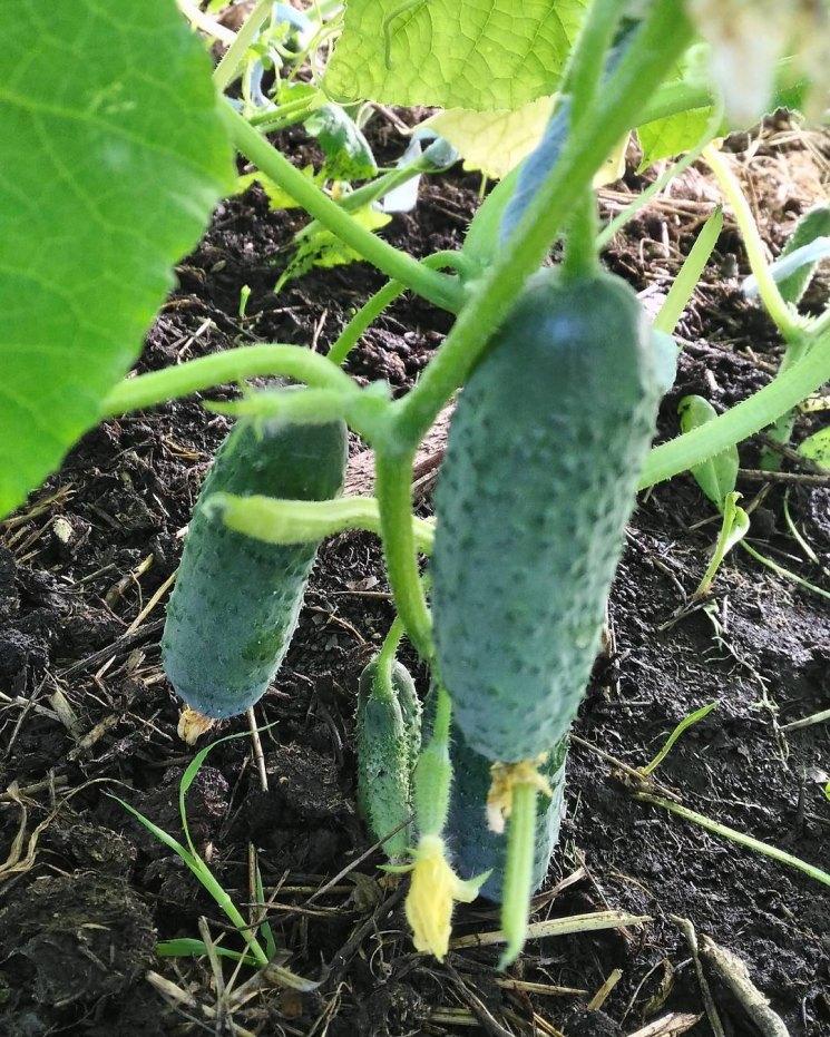 Как выращивать огурцы, памятка начинающим огородникам
