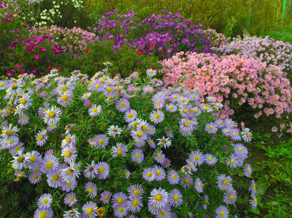 Посадка и уход за астрой (31 фото): выращивание многолетних сортов в открытом грунте. как ухаживать после высадки? как посадить цветок? на каком расстоянии сажать астры в саду?