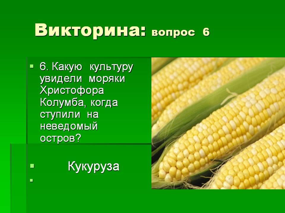 Кукуруза это бобовые или нет, к какой культуре относится зерновой или злаковой
