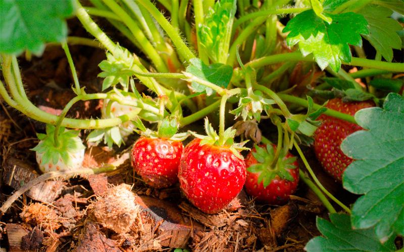 Чем лучше мульчировать клубнику весной и осенью - огород, сад, балкон - медиаплатформа миртесен
