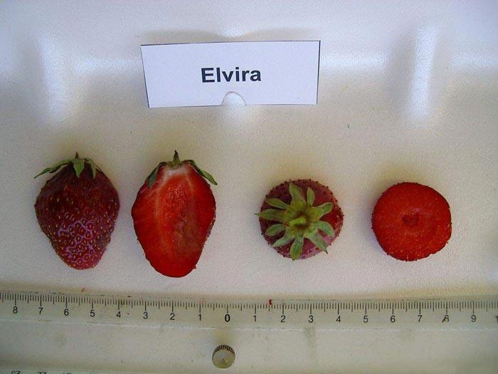 Описание клубники сорта эльвира, посадка, выращивание и размножение - всё про сады