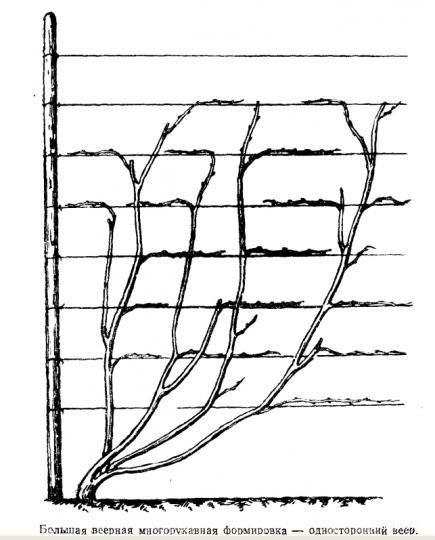Как подвязать виноград: преимущества, сроки, схема, способы