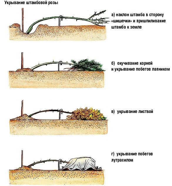 Как подготовить пионы к зиме на урале