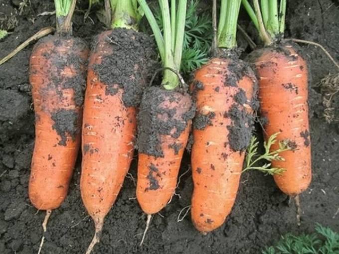 Морковь абако f1: отзывы дачников об урожайности гибрида, описание и характеристика сорта, семена и фото