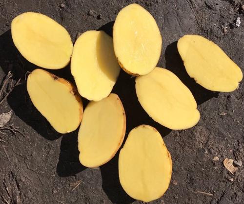 Картофель джувел – описание сорта, фото, отзывы