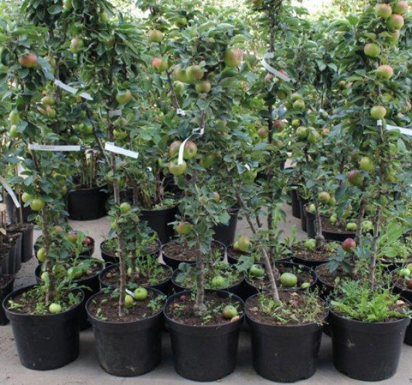 Колоновидные яблони — особенности и лучшие сорта. фото — ботаничка.ru