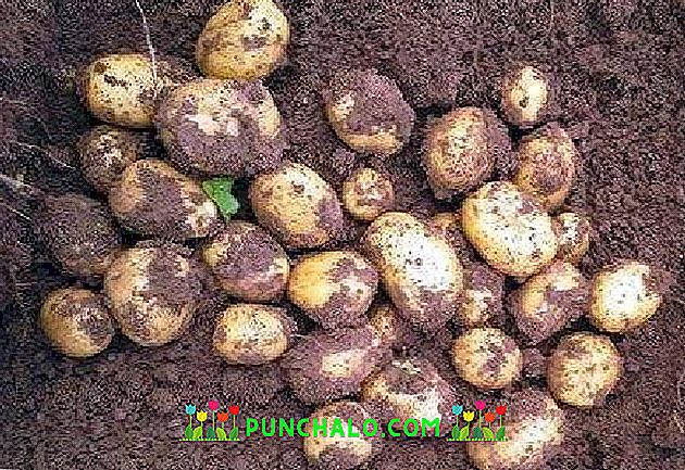 Картофель коломбо – описание сорта, фото, отзывы