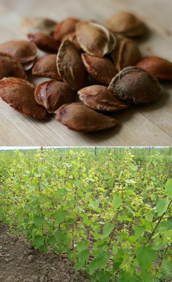 Как можно выращивать абрикос из косточки в домашних условиях: выбор семян, этапы подготовки, высадка и уход