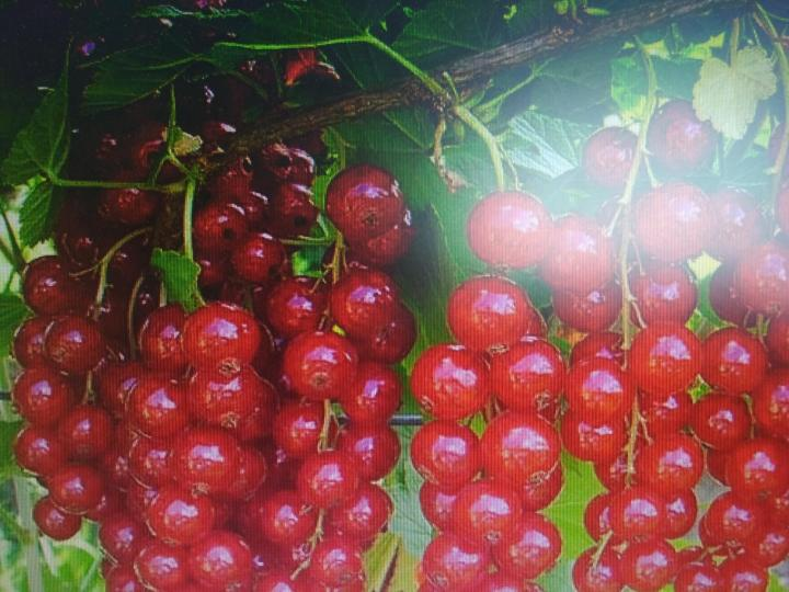 Красная смородина уральская красавица описание сорта фото отзывы - скороспел