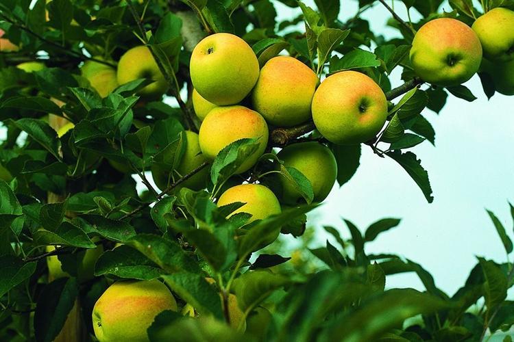Описание сорта яблони глостер: фото яблок, важные характеристики, урожайность с дерева