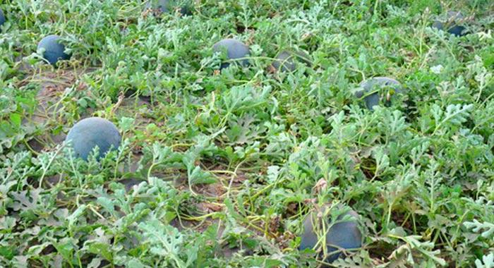 Как поливать арбузы, высаженные в открытом грунте