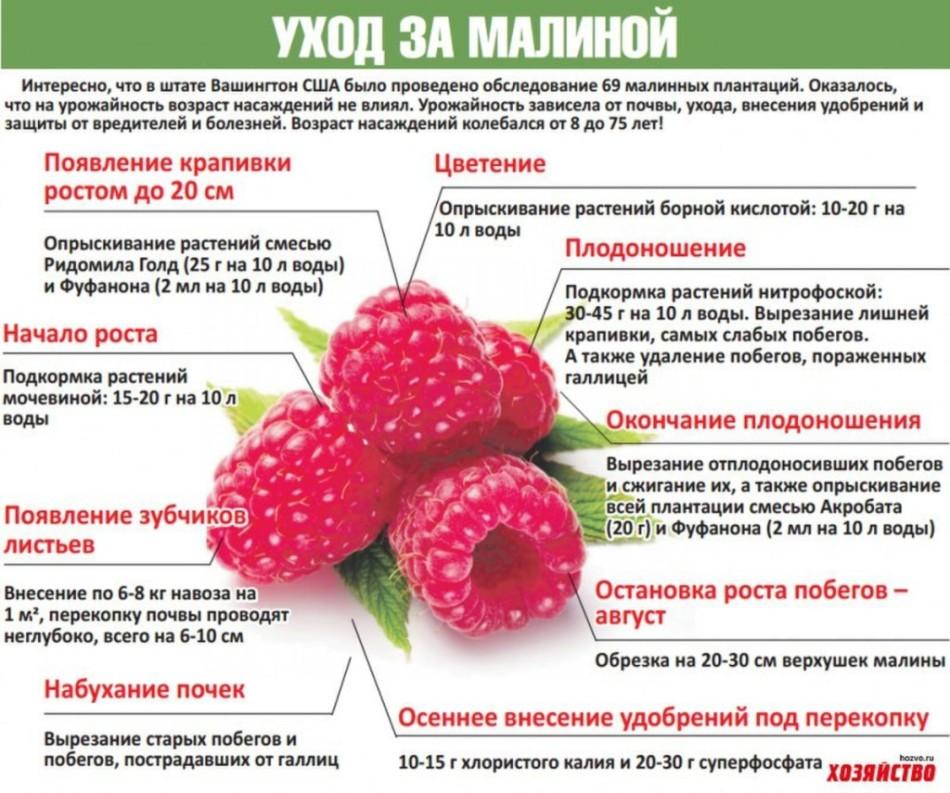 Почему может сохнуть малина вместе с ягодами и что делать, как бороться и чем обработать